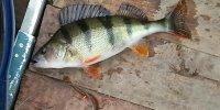 Рыбалка на окуня в Кизомысе на Днепре