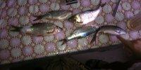рыбалка на тарань, Днестр, Маяки